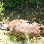 Triste fin pour un des castors du lac